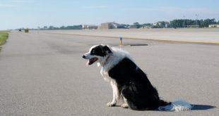 Hôm 27/2, lực lượng ANHK sân bay Điện Biên cũng kịp thời phát hiện chó chạy trên đường băng khi máy bay đang tiếp cận hạ cánh.