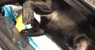 Chú chó bulldog tử vong sau khi bị ép ngồi trong khoang hành lý phía trên.